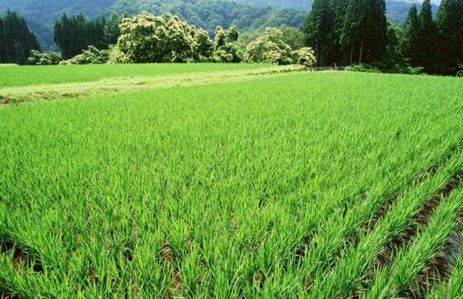水稻变黄的原因及防治方法
